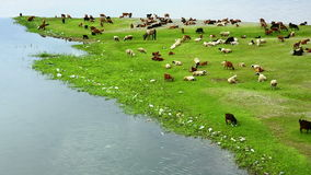 Animals grazing on river bank Stock Image