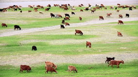 Animals grazing on river bank Royalty Free Stock Image