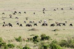 Animals grazing in vast savannah Royalty Free Stock Photos