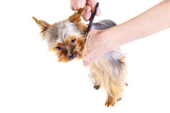 Animals. Grooming Yorkshire Terrier Royalty Free Stock Image