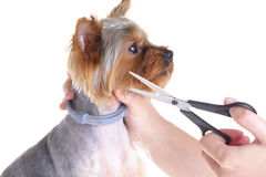 Animals. Grooming Yorkshire Terrier Royalty Free Stock Photos