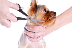 Animals. Grooming Yorkshire Terrier Stock Image
