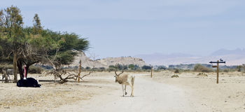 Animals in Hai Bar nature reserve, Israel Royalty Free Stock Photo