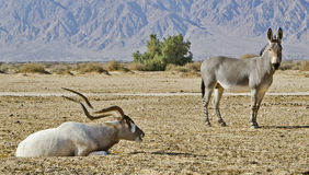 Animals in Hai Bar nature reserve, Israel. Herbivorous antelope, the Arabian scimitar horn addax and somali wild ass in Hai-Bar Yotvata nature reserve, 25 km of Stock Photos