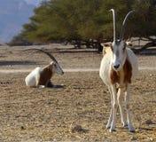 Animals in Hai Bar nature reserve, Israel. A herbivorous antelope, the Arabian oryx (Oryx leucoryx) in Hai-Bar Yotvata nature reserve, 25 km of Eilat, Israel Stock Images
