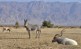 Animals of Hai Bar nature reserve, Israel. Horned oryx (Oryx leucoryx ), African wild ass (Equus africanus) and scimitar horned oryx (Oryx dammah) inhabit desert Royalty Free Stock Photography