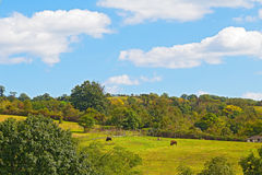 Animals on a hilly farm in Virginia during summer months. Stock Images