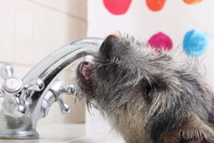 Animals at home dog pet drinking water in bathroom Stock Images