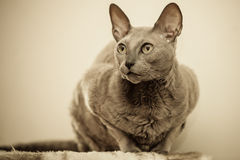 Animals at home. Egyptian mau cat portrait Stock Photos