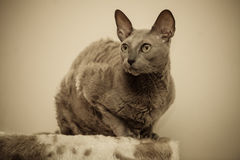 Animals at home. Egyptian mau cat portrait Stock Image