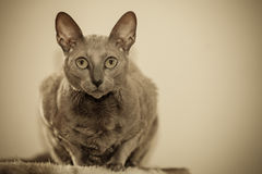 Animals at home. Egyptian mau cat portrait royalty free stock image