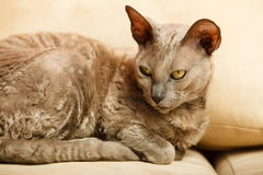 Animals at home. Egyptian mau cat royalty free stock image