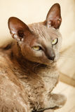 Animals at home. Egyptian mau cat Stock Image