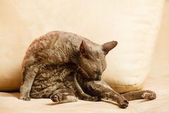 Animals at home. Egyptian mau cat Stock Images