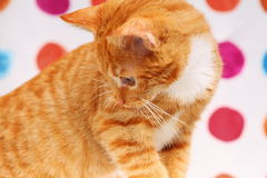Animals at home red baby cat pet kitty in bathroom Royalty Free Stock Photography