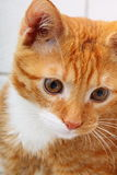 Animals at home red baby cat pet kitty in bathroom Stock Photography
