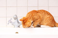 Animals at home red cat pet kitty drinking water in bathroom Stock Images