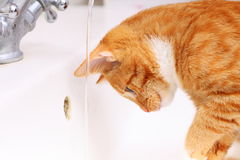 Animals at home red cat pet kitty drinking water in bathroom Stock Image