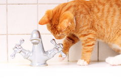 Animals at home red cat pet kitty drinking water in bathroom Stock Photography