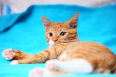 Animals at home - red cute little cat pet kitty on bed Stock Image