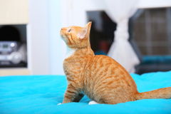 Animals at home - red cute little cat pet kitty on bed Stock Photography