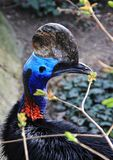 Portrait of bird. Head of the cassowaries bird close-up. Portrait of the bird Royalty Free Stock Image