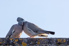Free Animals In Love. Breeding Pair Of Birds Preening With Affection Stock Photo - 152353670
