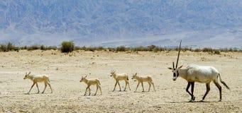 Animals of Israeli savanna Royalty Free Stock Photography