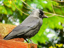 Animals. Jackdaw. Corvus monedula Stock Images