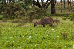 Animals Kenya Lake Nakuru Stock Photos