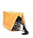 Animals, kitten, cat going into paper bag Royalty Free Stock Photo