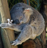 Animals - Koala Royalty Free Stock Photography