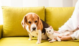 Animals are lying on the sofa. The dog is sitting on the greeb sofa and the cat is lying near the girl Stock Images