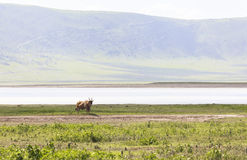 Animals in Maasai Mara, Kenya Royalty Free Stock Photography