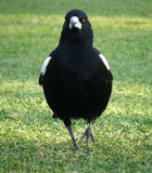 Animals - magpie Stock Images