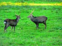Animals. Mammals. Deer Royalty Free Stock Image