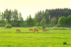 Animals in meadows Royalty Free Stock Photography
