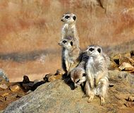 Animals - Meerkat Royalty Free Stock Photography
