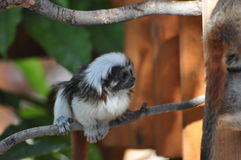Animals. Mini black and white animal, resting on tree branch, at Limassol Zoo, Cyprus Stock Image