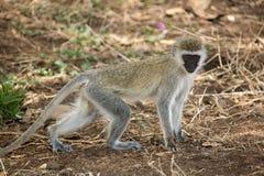 Animals monkey.  Stock Image