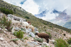 Animals in the mountains Stock Image