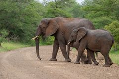 African elephant mamal animals in the national park kruger south africa. African elephant is the largest mammal on earthmamal animals in the national park kruger stock photo