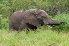African elephant mamal animals in the national park kruger south africa. African elephant is the largest mammal on earthmamal animals in the national park kruger stock photography