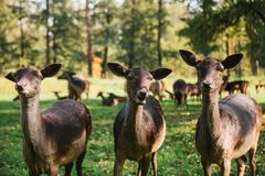 Animals in a natural habitat. Three beautiful curious roes stand in the background of blurry herd in sunny autumn park royalty free stock image