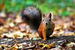 Squirrels get ready for winter. Animals in nature.Squirrels get ready for winter. A small red squirrel sitting on autumn dry grass and leaves. Front view royalty free stock photography