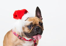 Animals. One beige dog French Bulldog white , Christmas. Wonderful beige dog French Bulldog, has red Christmas hat. New Year holiday card. Little Santa Claus Stock Images