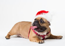 Animals. One beige dog French Bulldog white , Christmas. Wonderful beige dog French Bulldog, has red Christmas hat. New Year holiday card. Little Santa Claus Royalty Free Stock Image