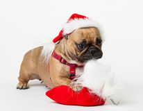 Animals. One beige dog French Bulldog white isolated, Christmas. Wonderful beige dog French Bulldog, has red Christmas hat, gift bag. New Year holiday card Royalty Free Stock Image