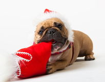 Animals. One beige dog French Bulldog white isolated, Christmas. Wonderful beige dog French Bulldog, has red Christmas hat, gift bag. New Year holiday card Royalty Free Stock Photos