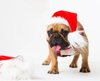 Animals. One beige dog French Bulldog white isolated, Christmas. Wonderful beige dog French Bulldog, has red Christmas hat, gift bag. New Year holiday card Royalty Free Stock Images